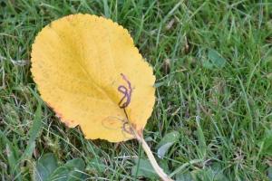 Leaf in our garden - Aug-2016